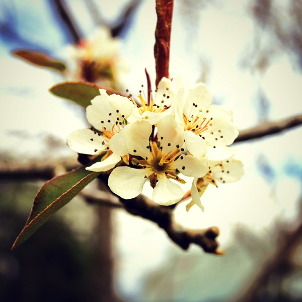 CoralTree Organics Apple blossoms
