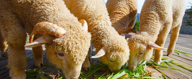 Merino sheep eating grass. Sheep treatment with Apple Cider Vinegar