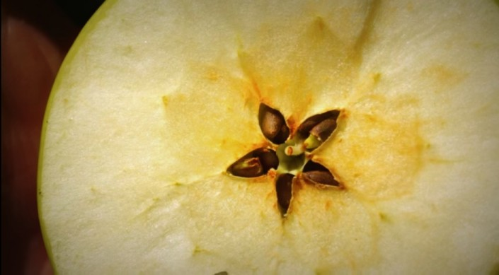The beautiful flower shaped central halo and seeds of an organic Monty's Surprise apple sliced through the core - CoralTree Apple Orchard