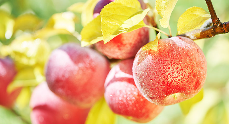 Beautiful red juicy apples perfectly ripe for harvest and capturing all the goodness into our bottles of CoralTree organic apple cider vinegar