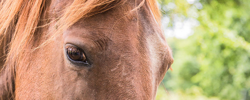 ACV-Animal-health-and-welfare. Beautiful chest nut horse